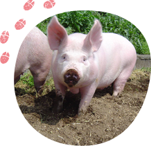 誰もが自慢に思ってくれる最高の豚地豚の創造
