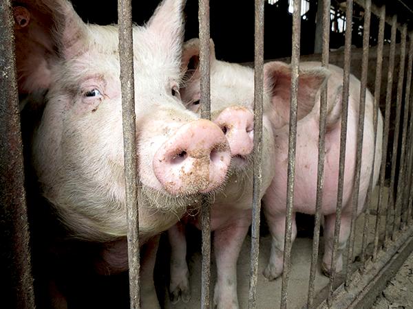 神奈川伝統の「高座豚」生産技術を活かしたブランド